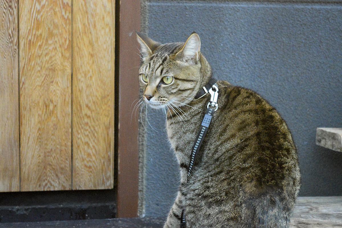 外にでた瞬間に帰ろうとするキジトラ猫の虎ノ介