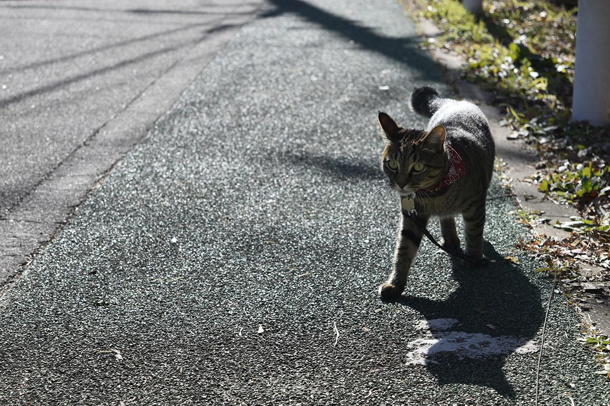 ご機嫌であるくキジトラ猫の虎ノ介