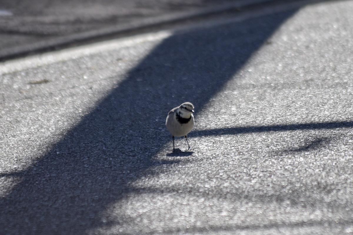 道路を歩くセキレイ
