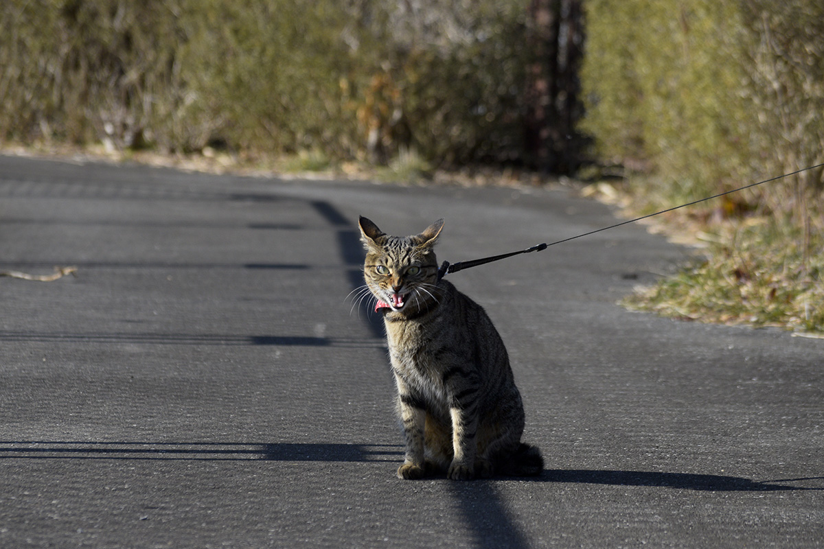 吠えるキジトラ猫の虎ノ介