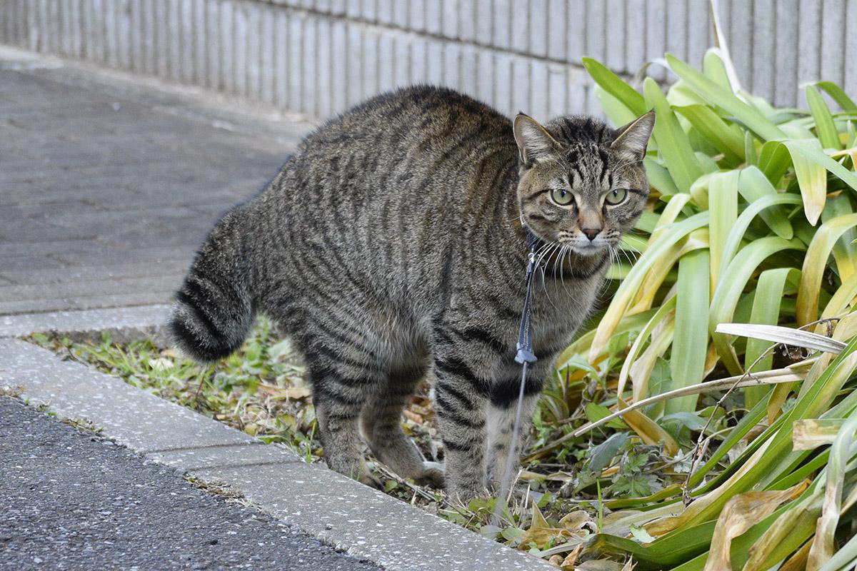 お隣の犬に気が付いて威嚇するキジトラ猫の虎ノ介