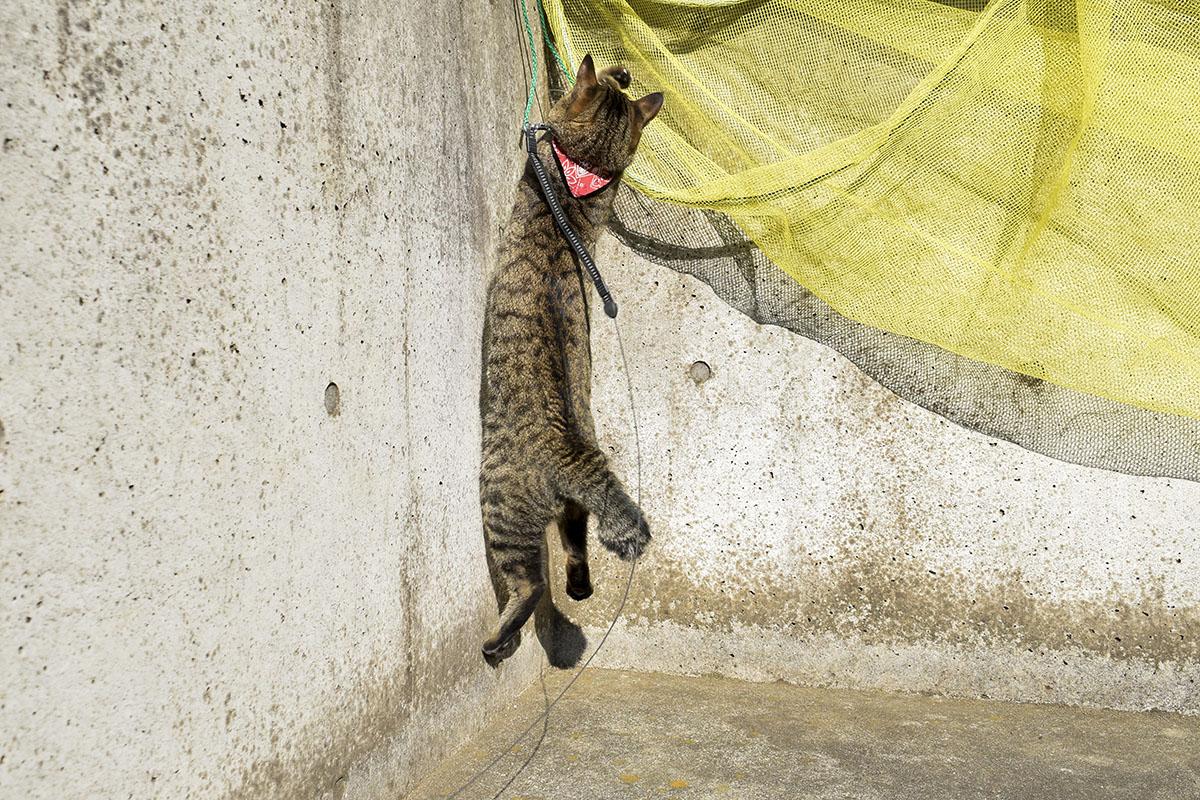 ひもを発見して遊ぶキジトラ猫の虎ノ介