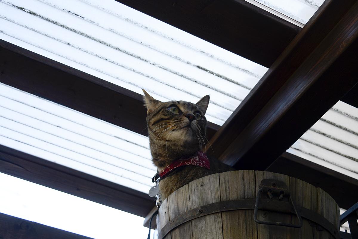 物置にあった鉢にはいるキジトラ猫の虎ノ介