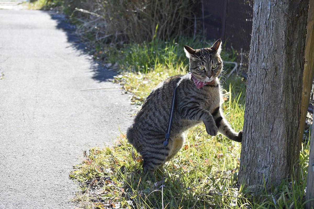 犬とすれ違ってへっぴり腰のキジトラ猫の虎ノ介