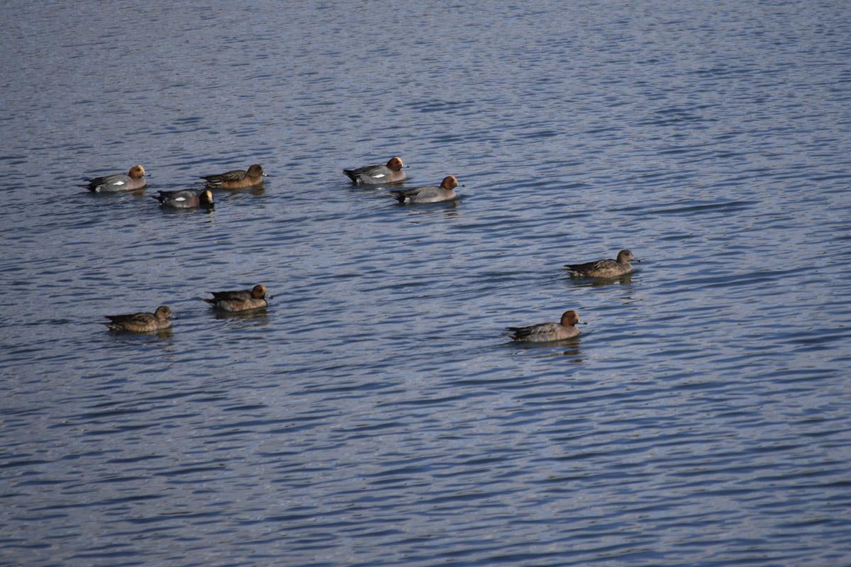 調整池の水鳥たち