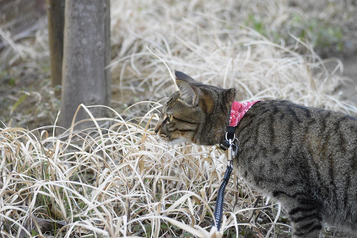 フェンスの向こうをみつめるキジトラ猫の虎ノ介