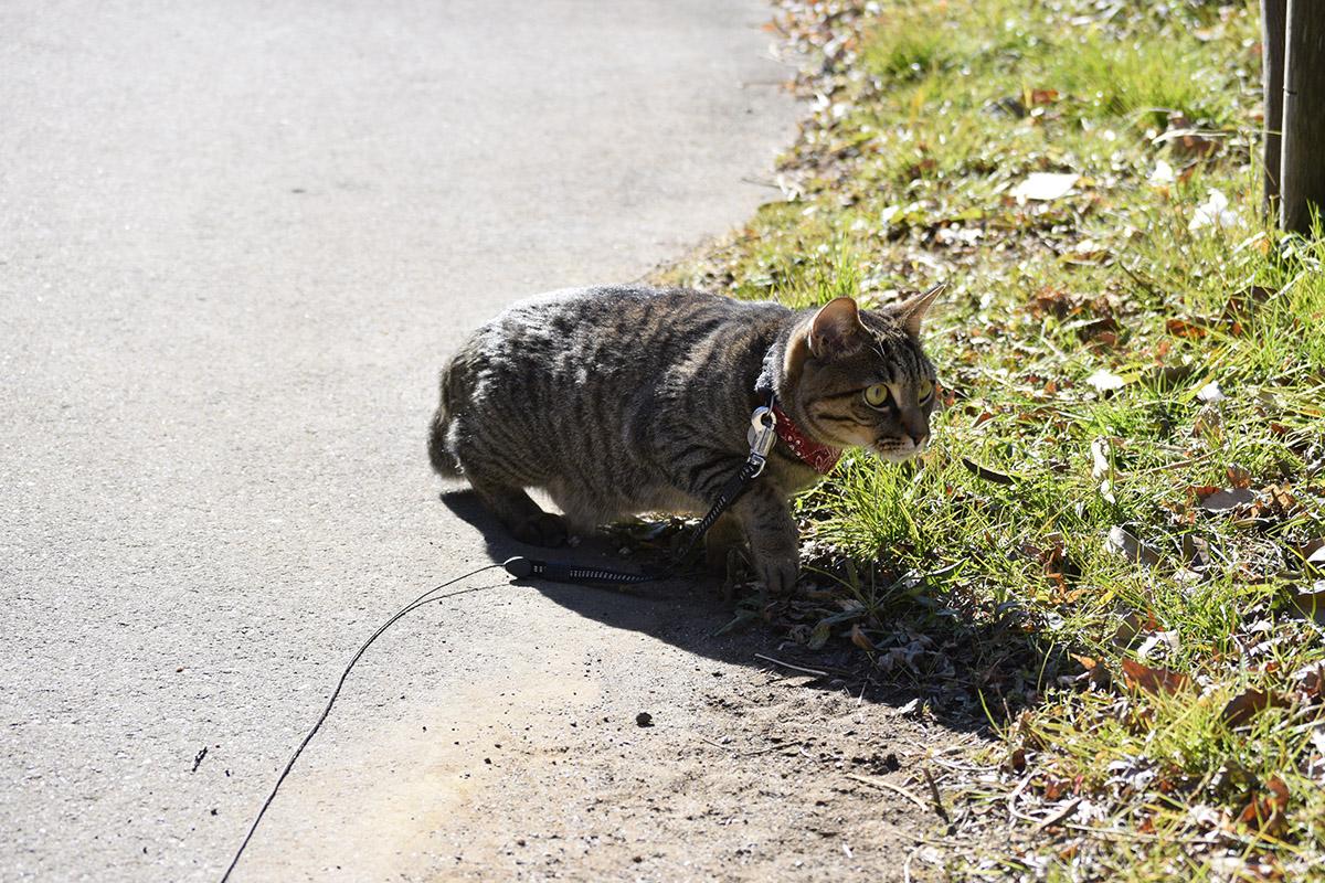 フェンスに忍び寄るキジトラ猫の虎ノ介