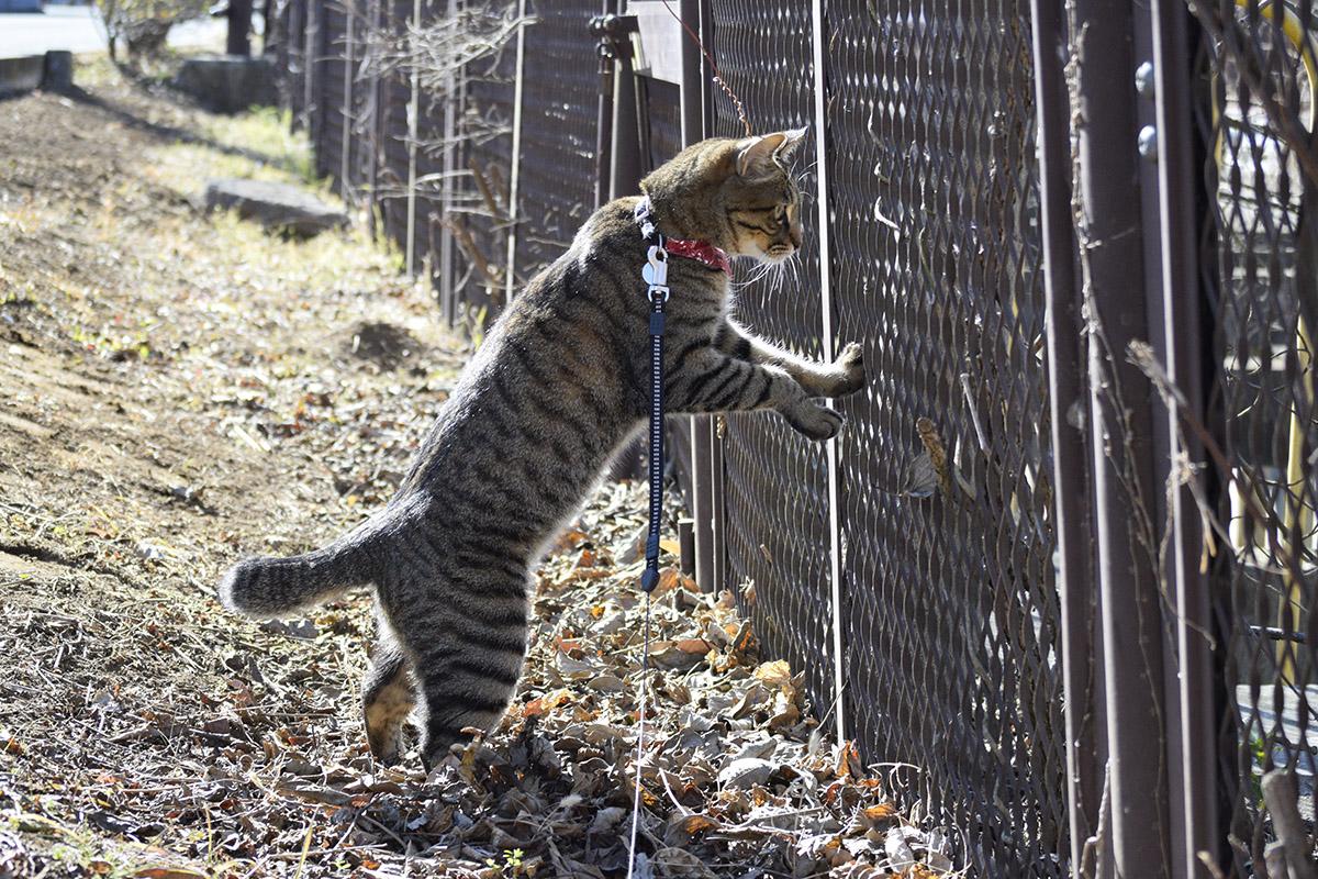 フェンスのむこうのキジバトを2本足で立ち上がって覗く虎ノ介