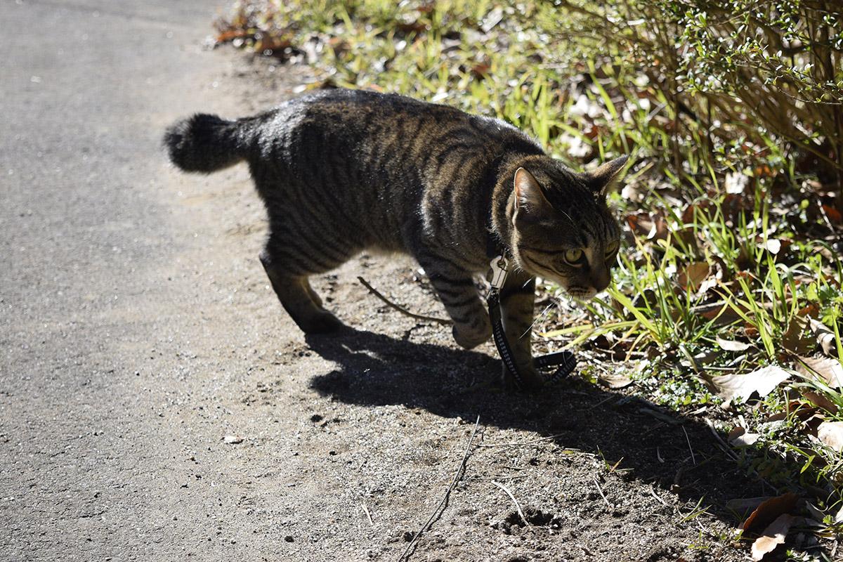 犬の足跡の周辺のにおいをかぐキジトラ猫の虎ノ介