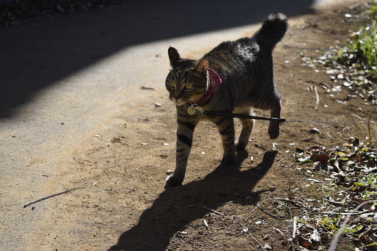 しっぽが膨らむキジトラ猫の虎ノ介