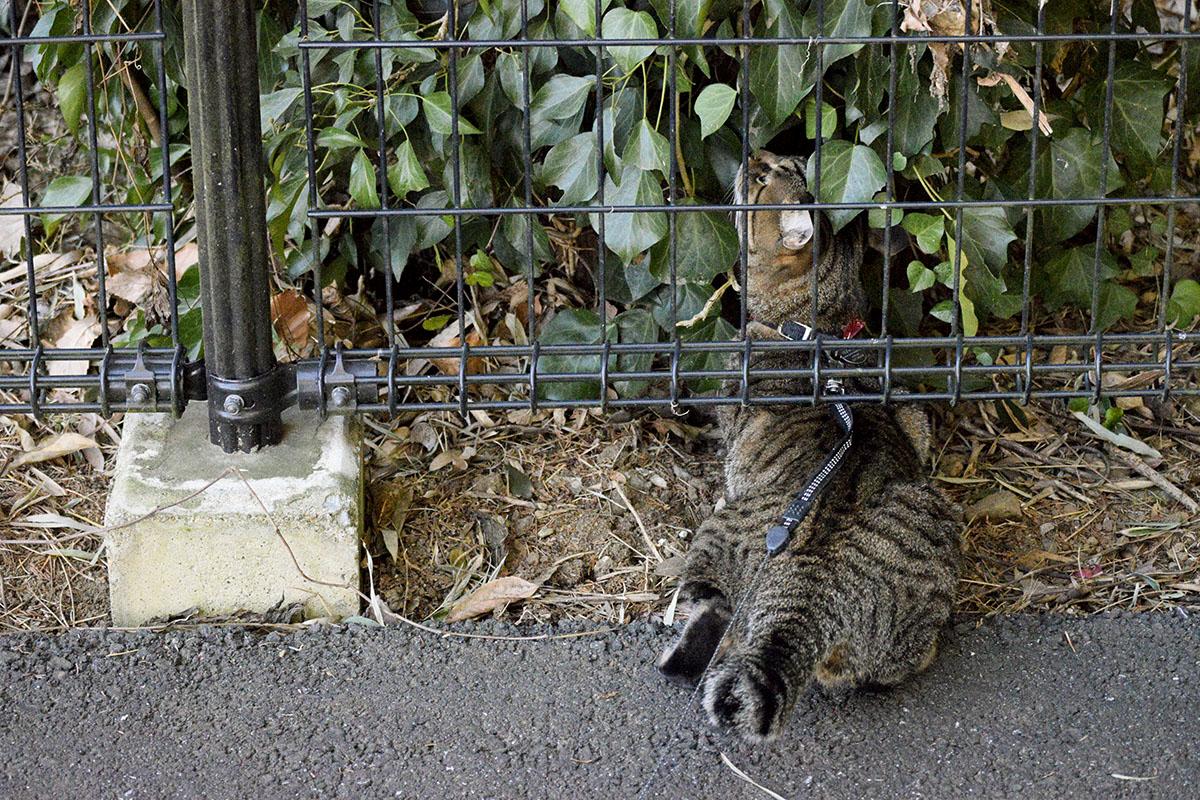 フェンスの隙間に潜り込もうとするキジトラ猫の虎ノ介