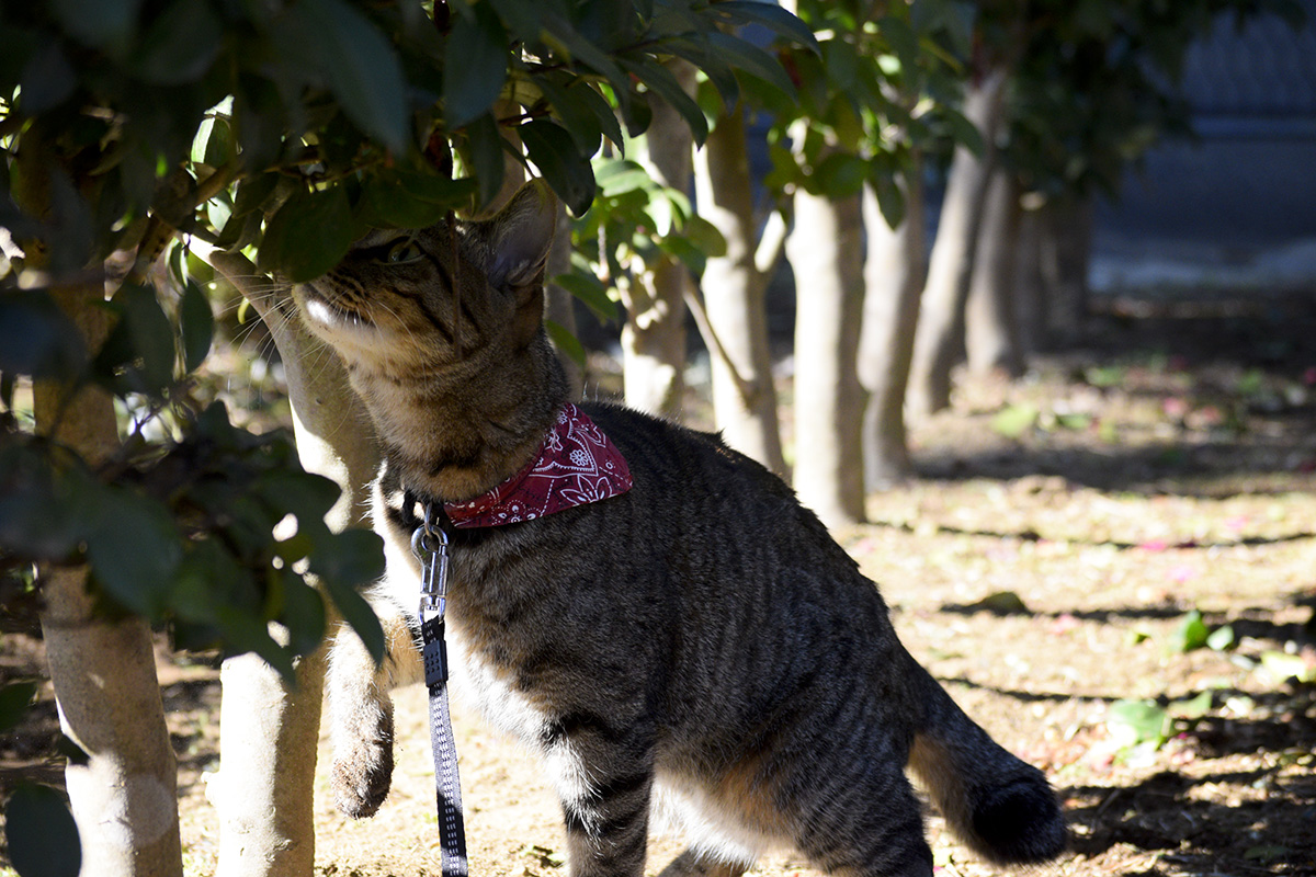 生垣のにおいをかぐキジトラ猫の虎ノ介