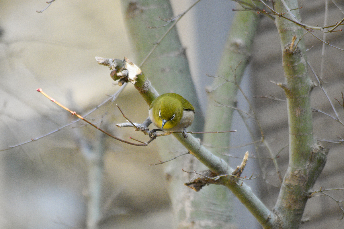 梅の隣の木の枝から下をみるメジロ