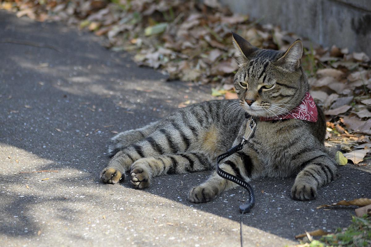 道でうとうとするキジトラ猫の虎ノ介