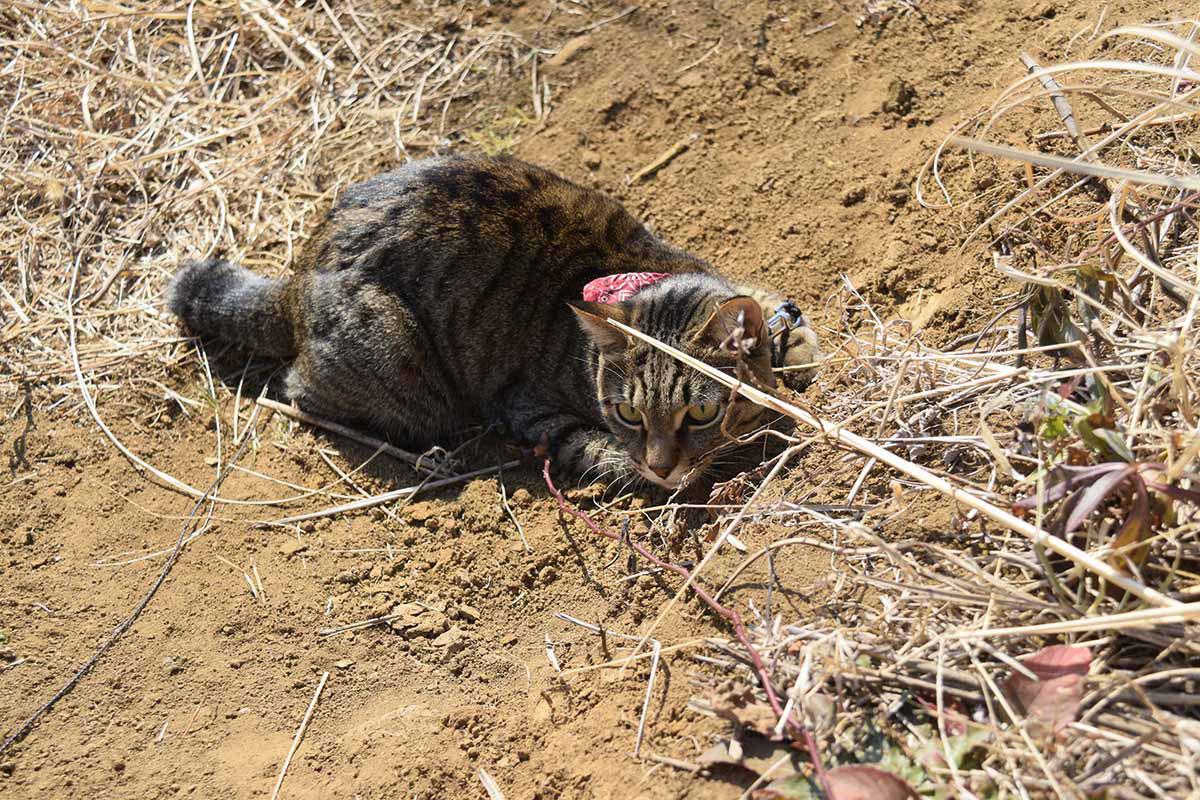 土の上で何かを狙うキジトラ猫の虎ノ介