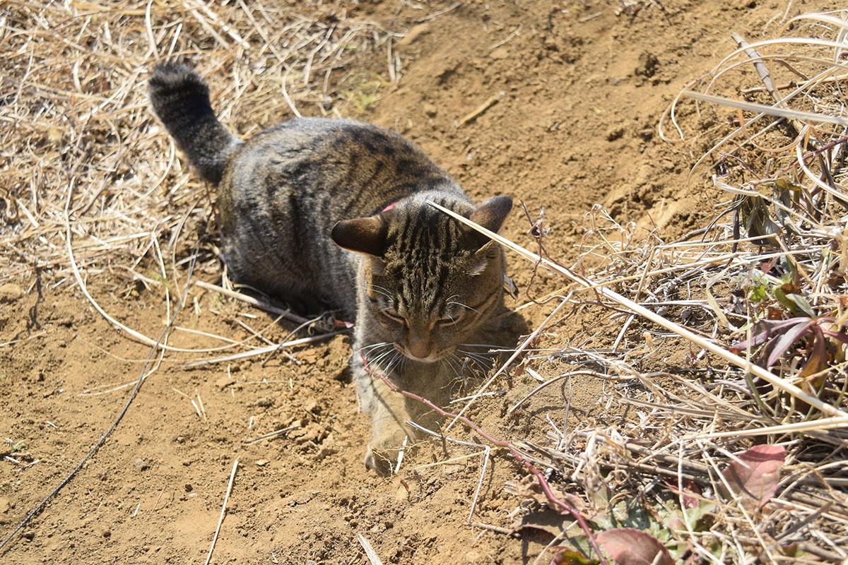 砂埃を立てながら何かを捕まえるキジトラ猫の虎ノ介