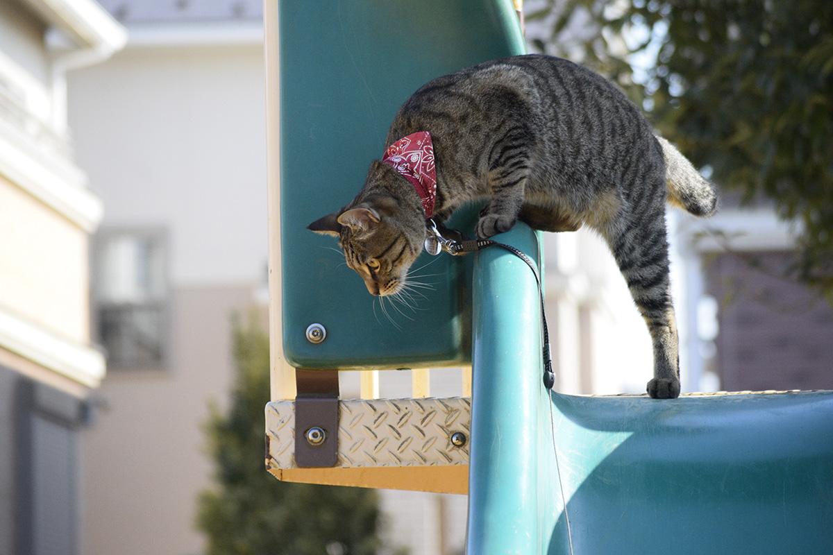 滑り台から飛びおりるキジトラ猫の虎ノ介