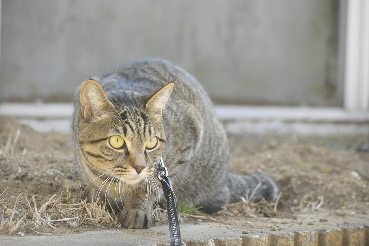 砂嵐で煙ってみえるキジトラ猫の虎ノ介