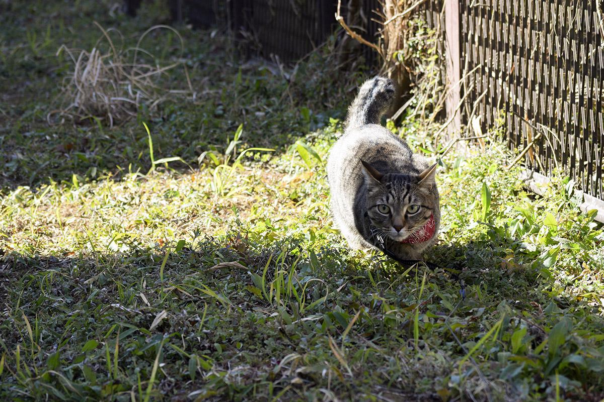 何かを狙っているキジトラ猫の虎ノ介