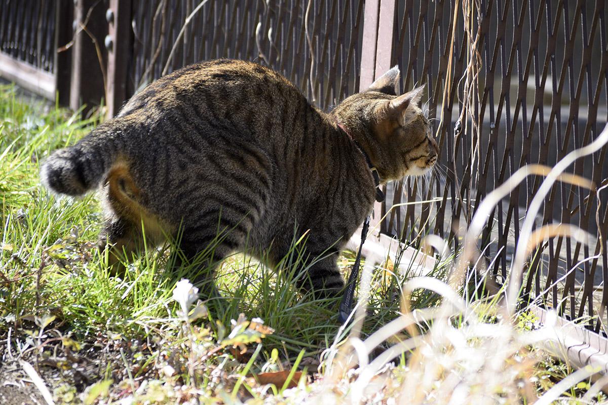 勢いあまってフェンスに激突したキジトラ猫の虎ノ介