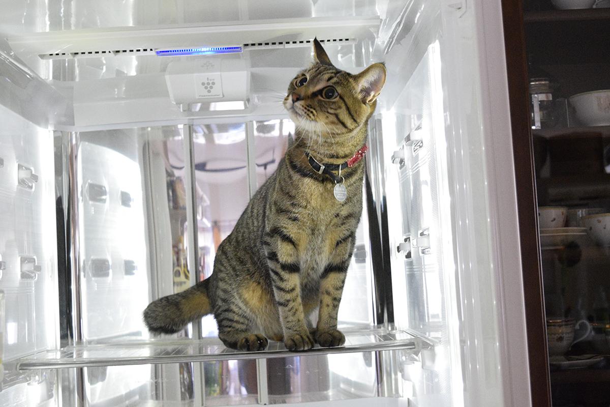 冷蔵庫に入り込む虎ノ介