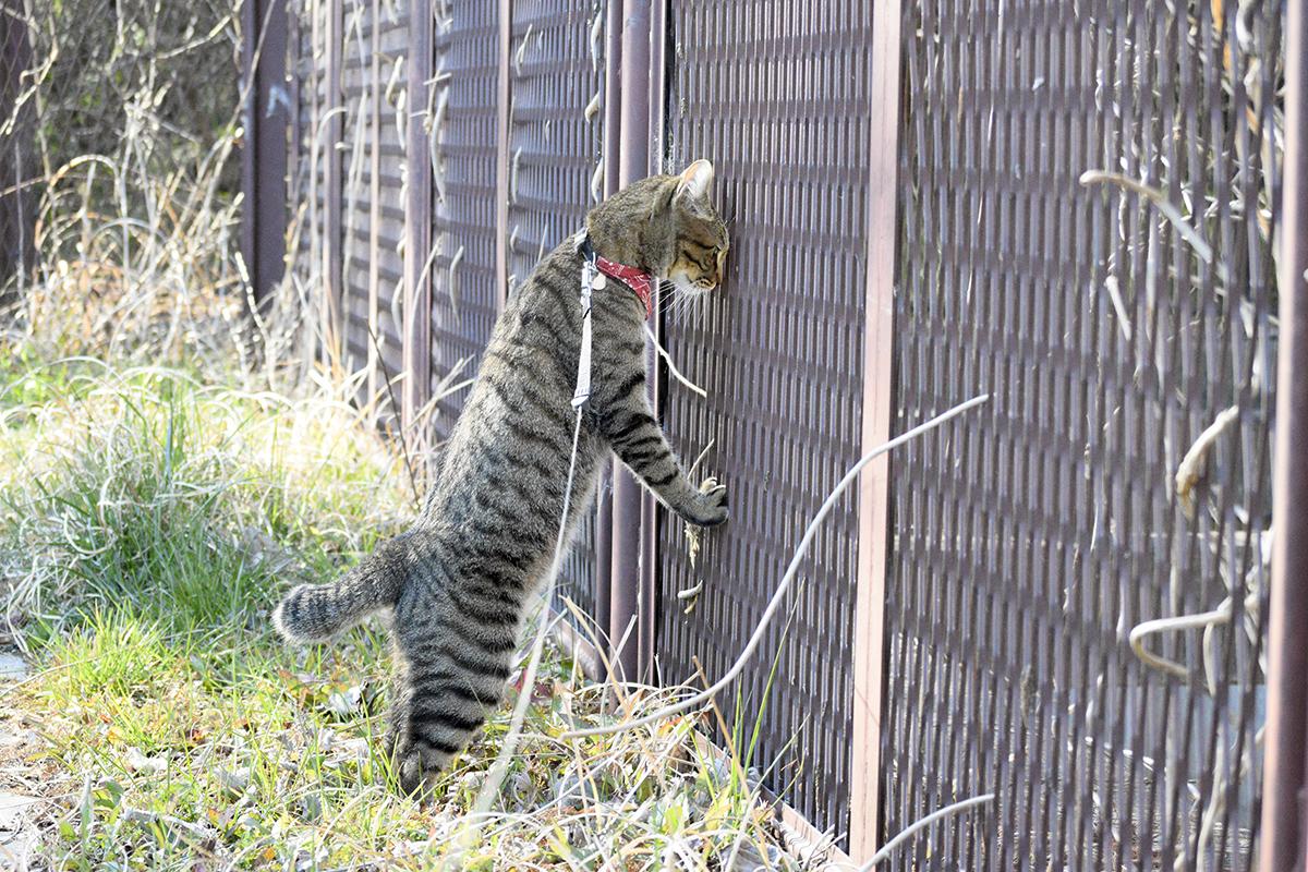 フェンスの向こうの鳥をのぞくキジトラ猫の虎ノ介