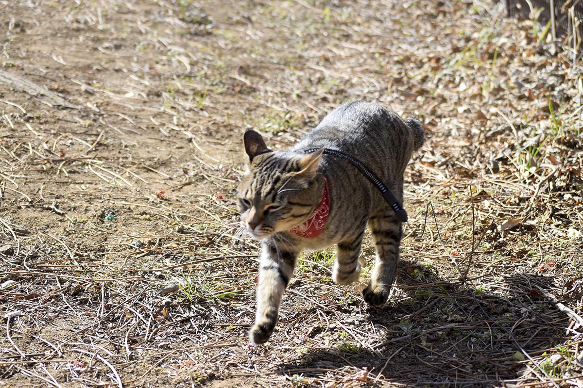 風に吹かれるキジトラ猫の虎ノ介