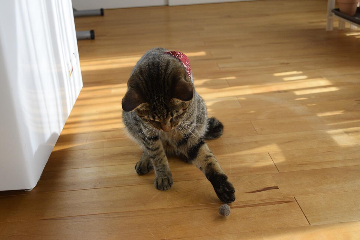毛玉ボールを転がすキジトラ猫の虎ノ介