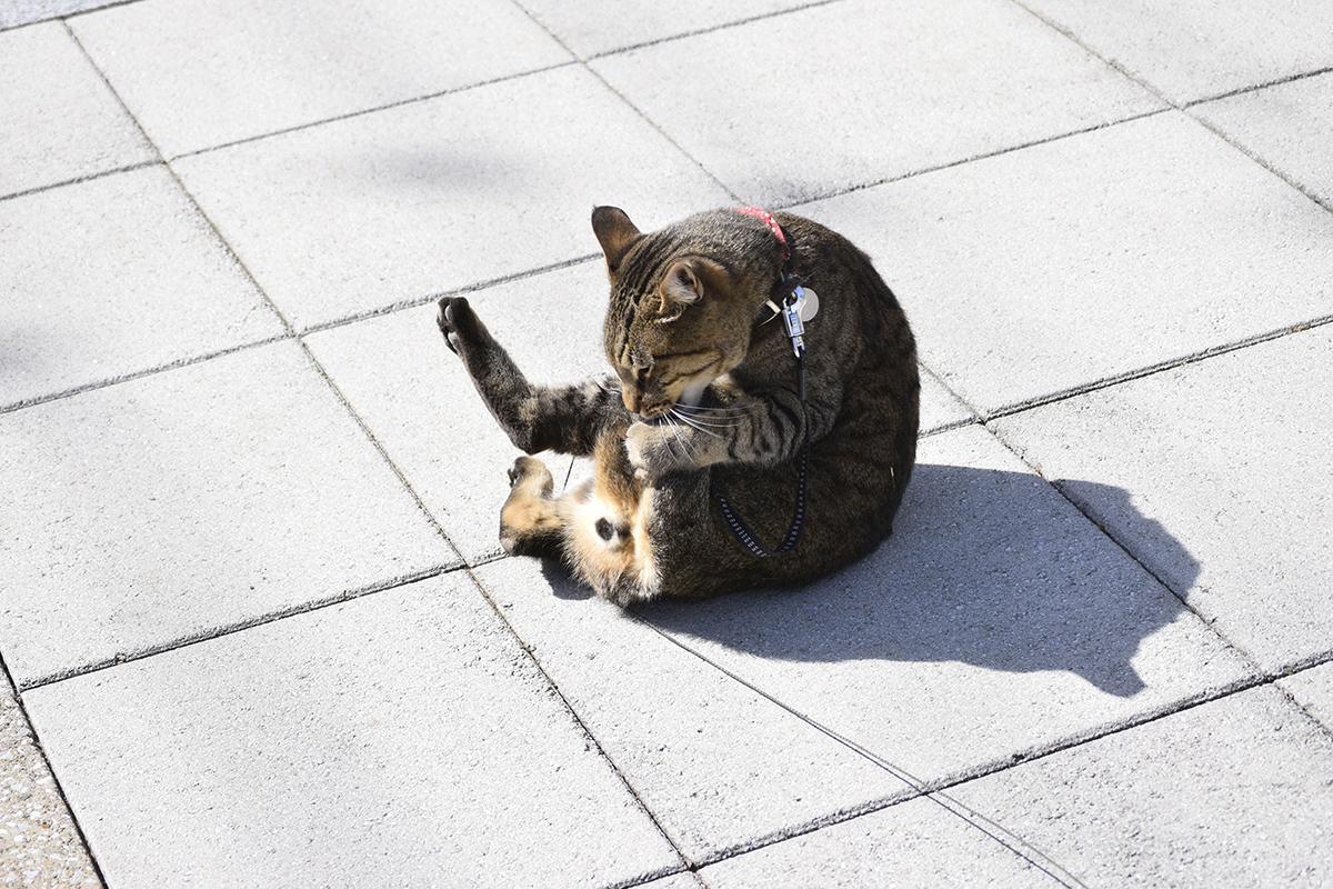 ゴロンゴロンのあとに毛づくろいをするキジトラ猫の虎ノ介