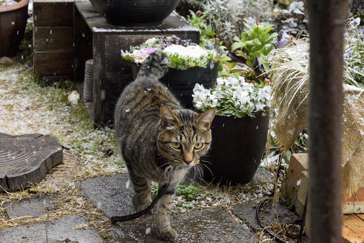 雪がふる庭にでていくキジトラ猫の虎ノ介