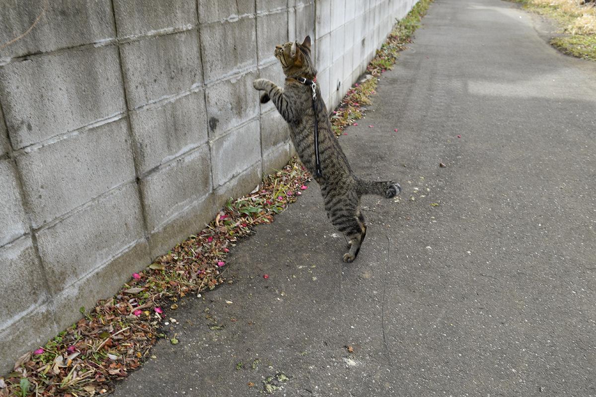 再び鳩をのぞき込もうとするキジトラ猫の虎ノ介
