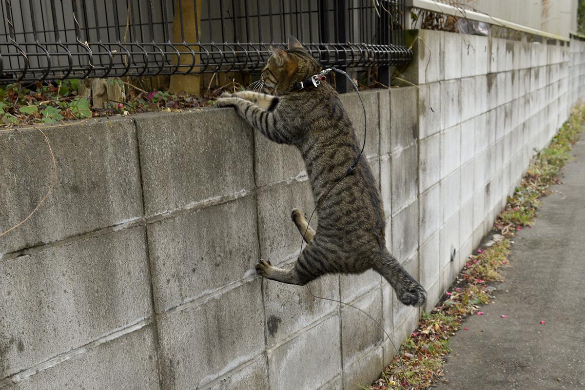 ジャンプするキジトラ猫の虎ノ介