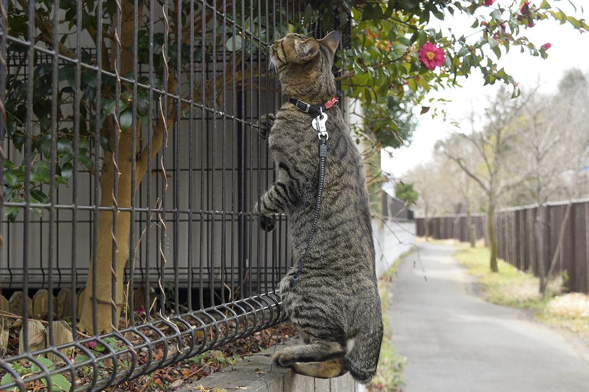 フェンスに捕まるキジトラ猫の虎ノ介