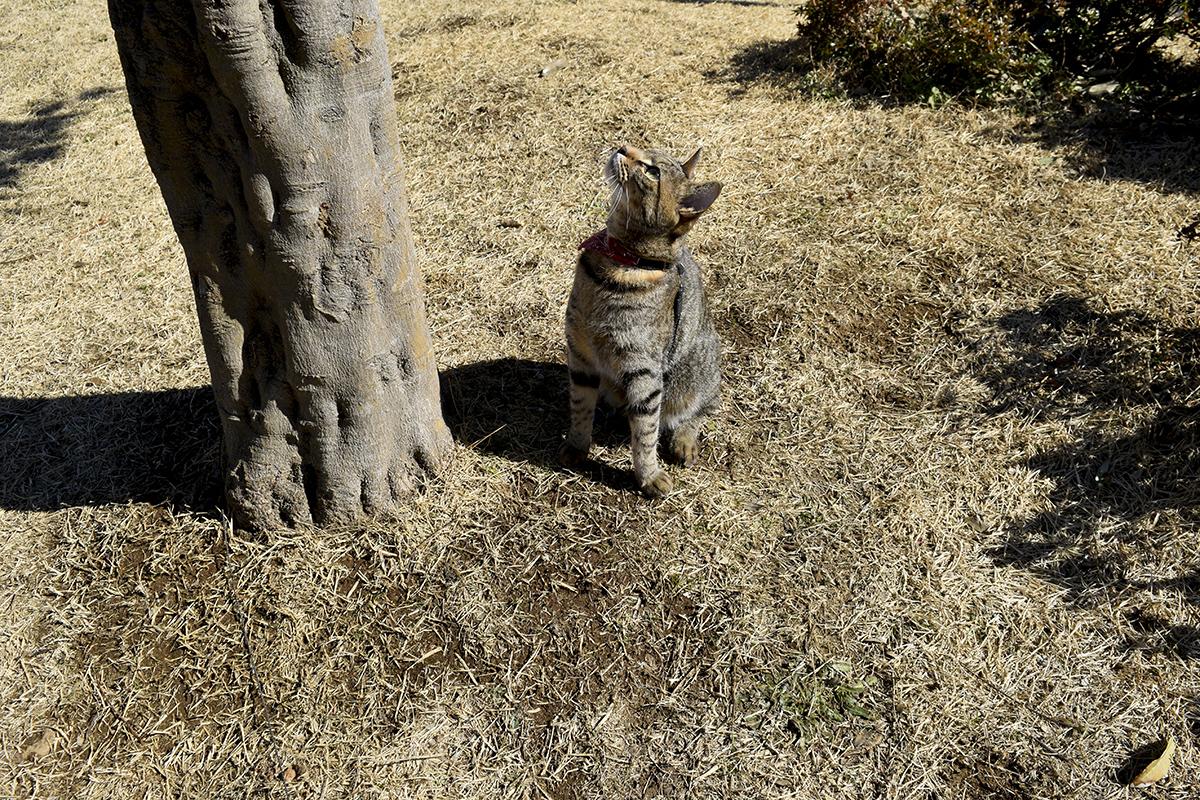 木の上を見上げるキジトラ猫の虎ノ介