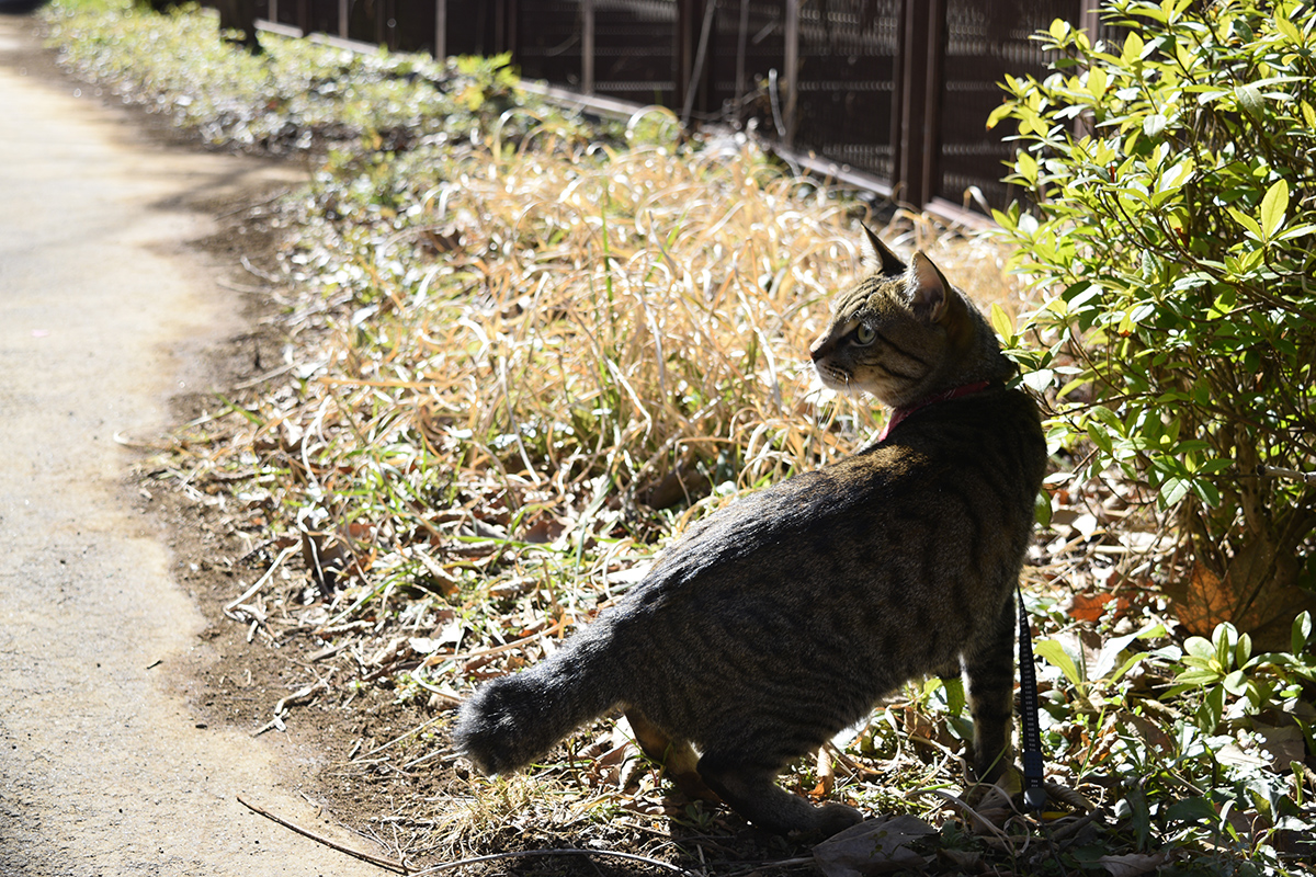 後ろが気になるキジトラ猫の虎ノ介