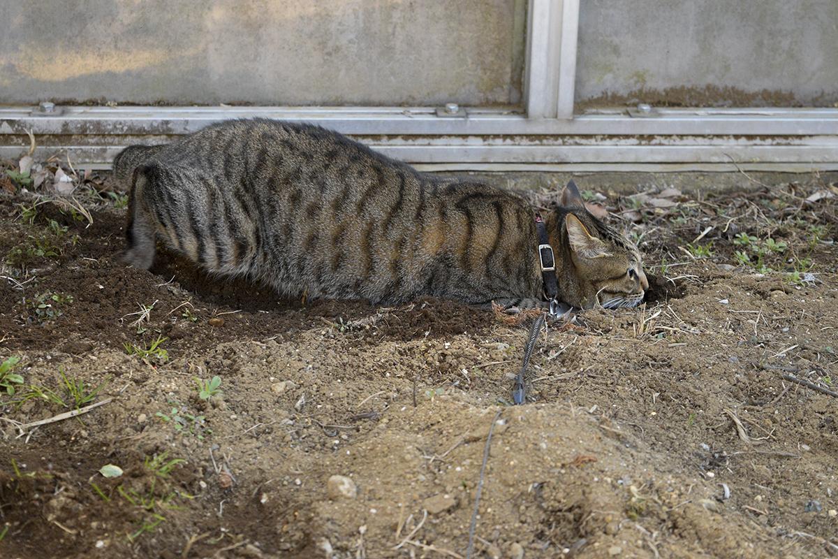 穴を掘って埋まるキジトラ猫の虎ノ介