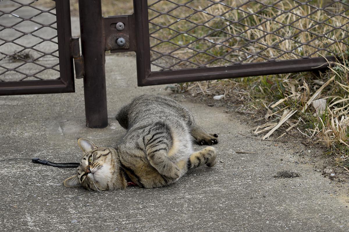 ゴロンするキジトラ猫の虎ノ介