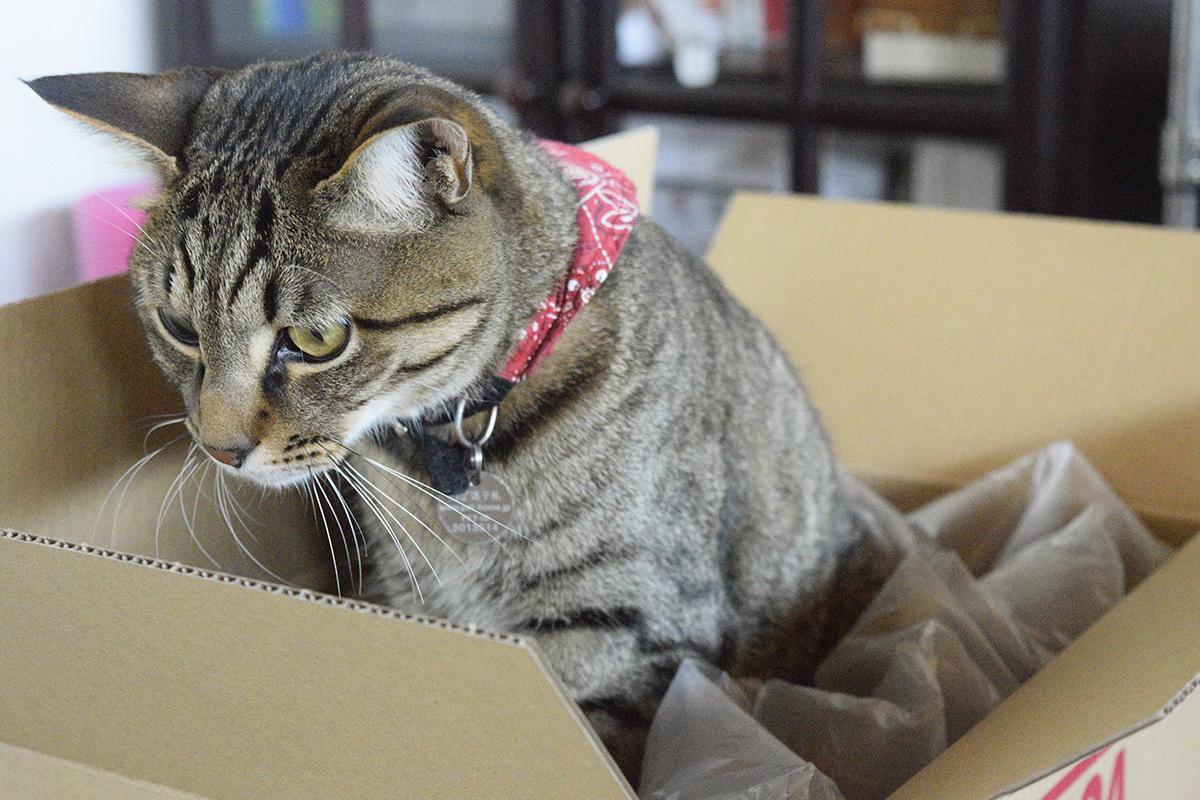 箱をチェックするキジトラ猫の虎ノ介