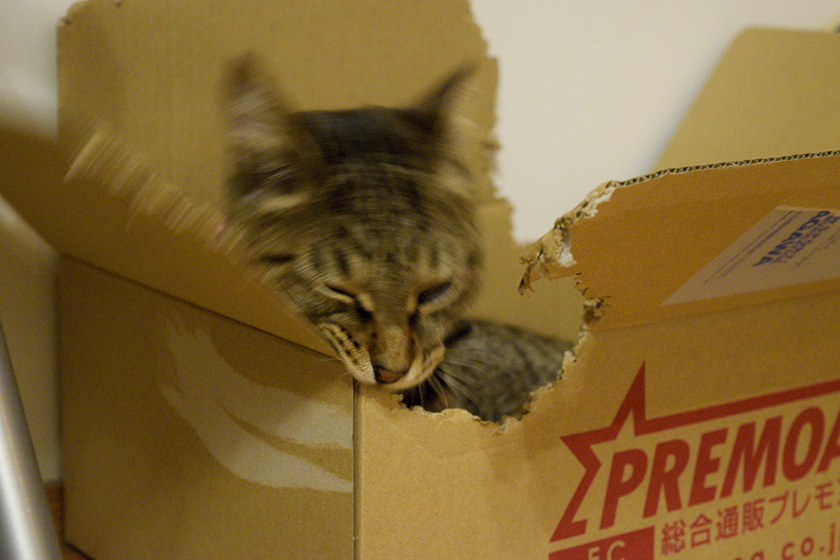 箱をかみちぎるキジトラ猫の虎ノ介