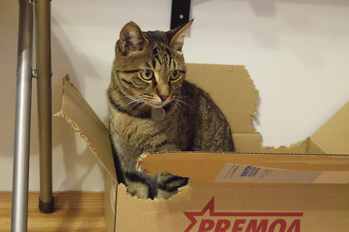 箱にはいるキジトラ猫の虎ノ介