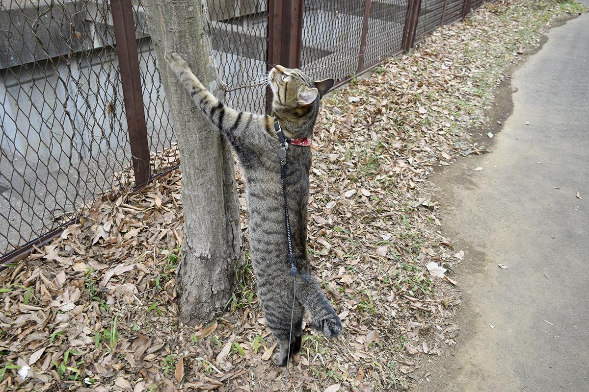 上を見上げるキジトラ猫の虎ノ介