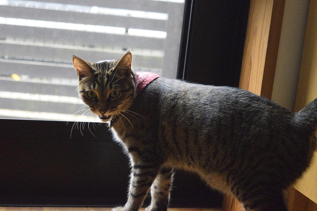 外に出たがってなくキジトラ猫の虎ノ介