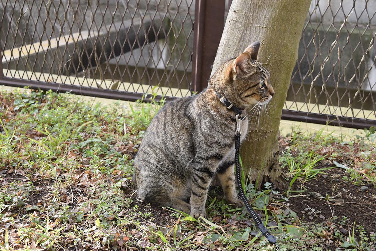 木陰から犬を警戒するキジトラ猫の虎ノ介