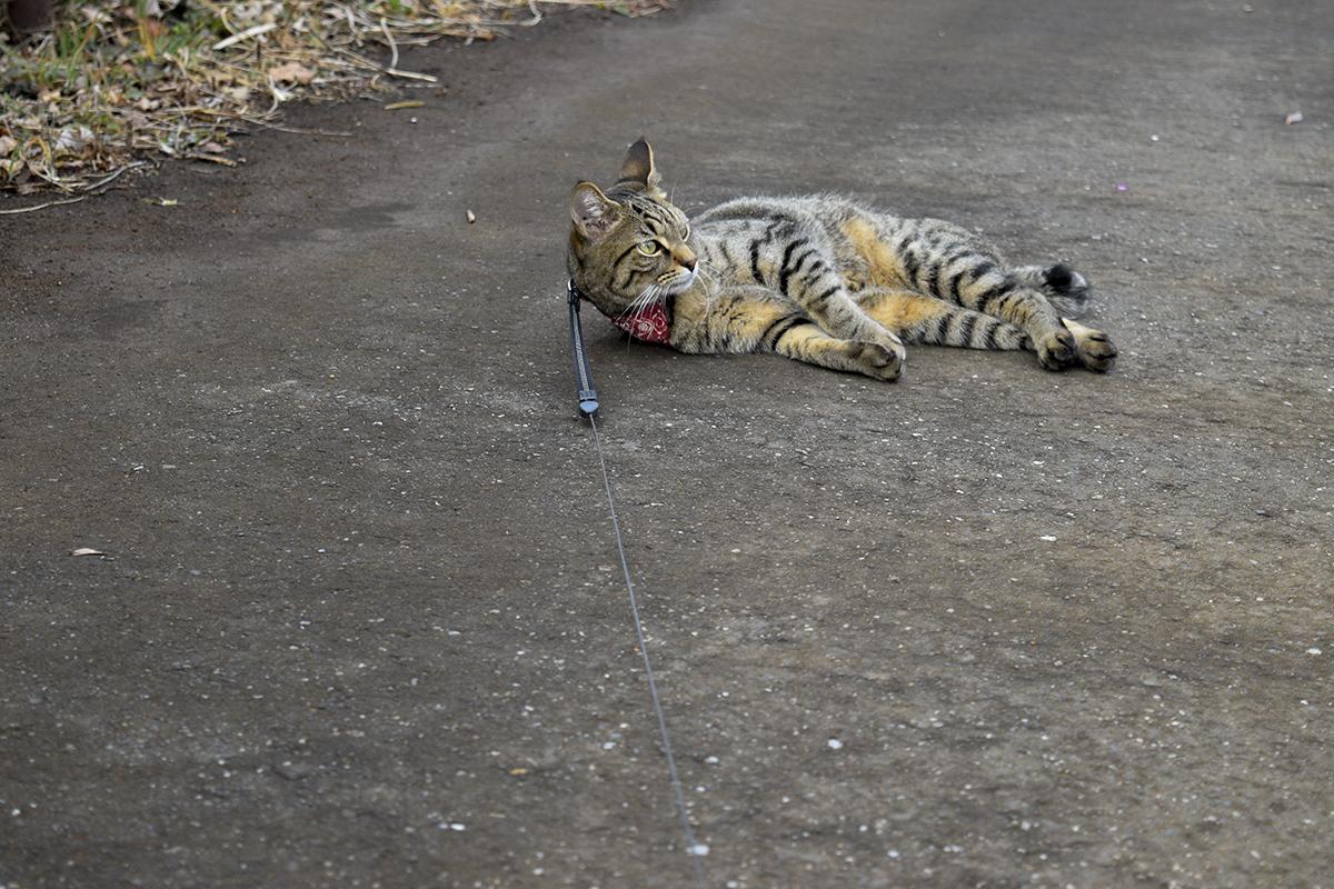 家に帰りたくなくて道路に寝そべって抵抗するキジトラ猫の虎ノ介