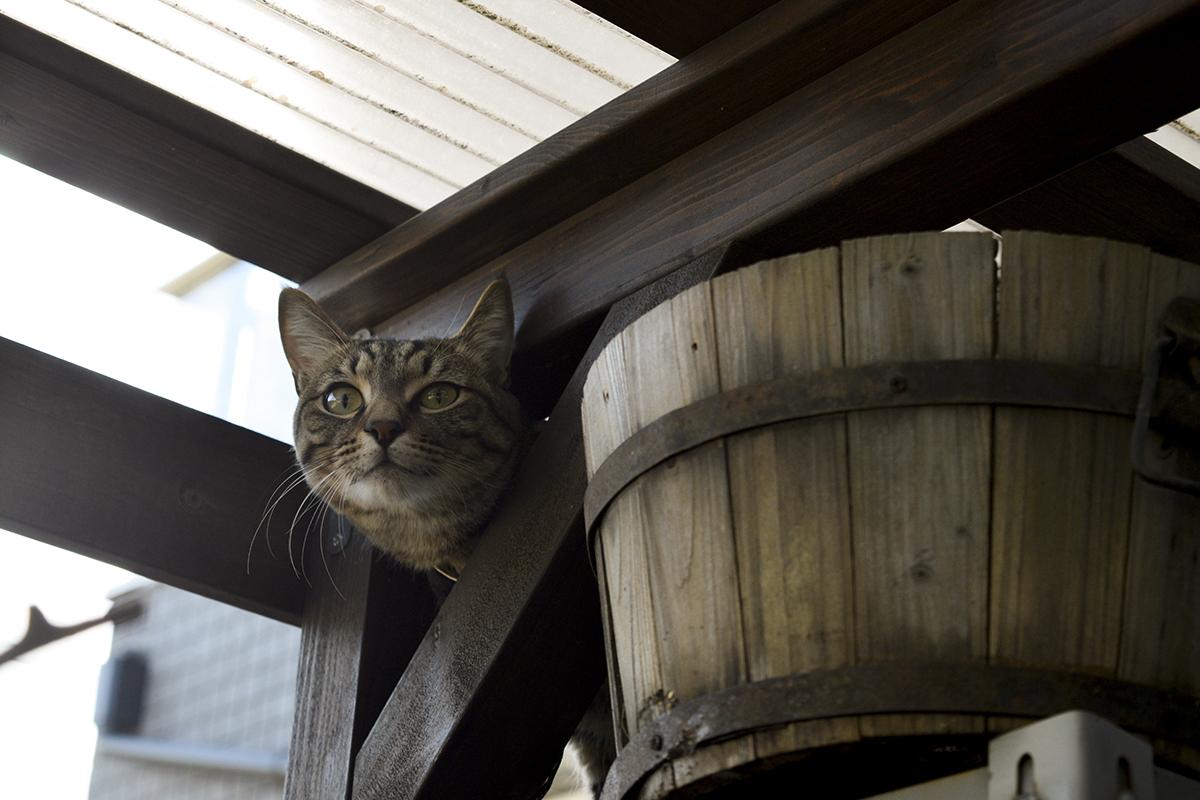 小屋に上がるキジトラ猫の虎ノ介