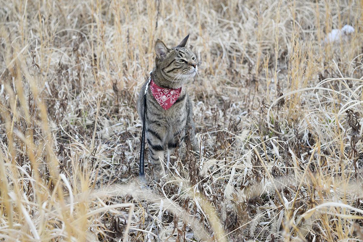 空気の匂いをかぐキジトラ猫の虎ノ介