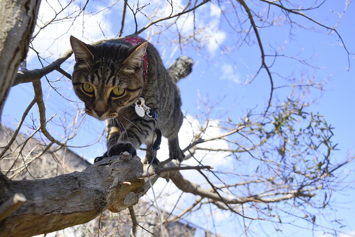 必死で木から降りるキジトラ猫の虎ノ介