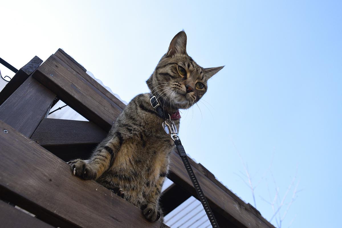 小屋から顔をだすキジトラ猫の虎ノ介