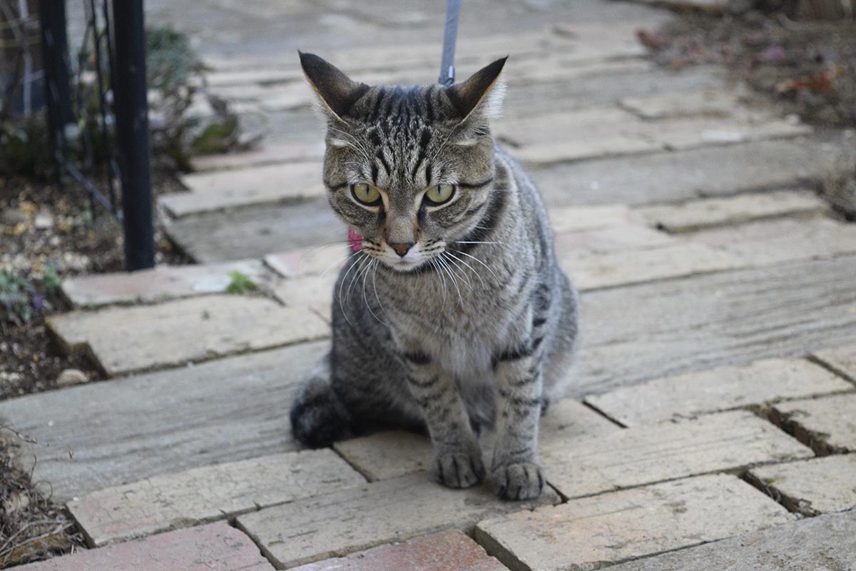 つながれたまま必死でアピールするキジトラ猫の虎ノ介