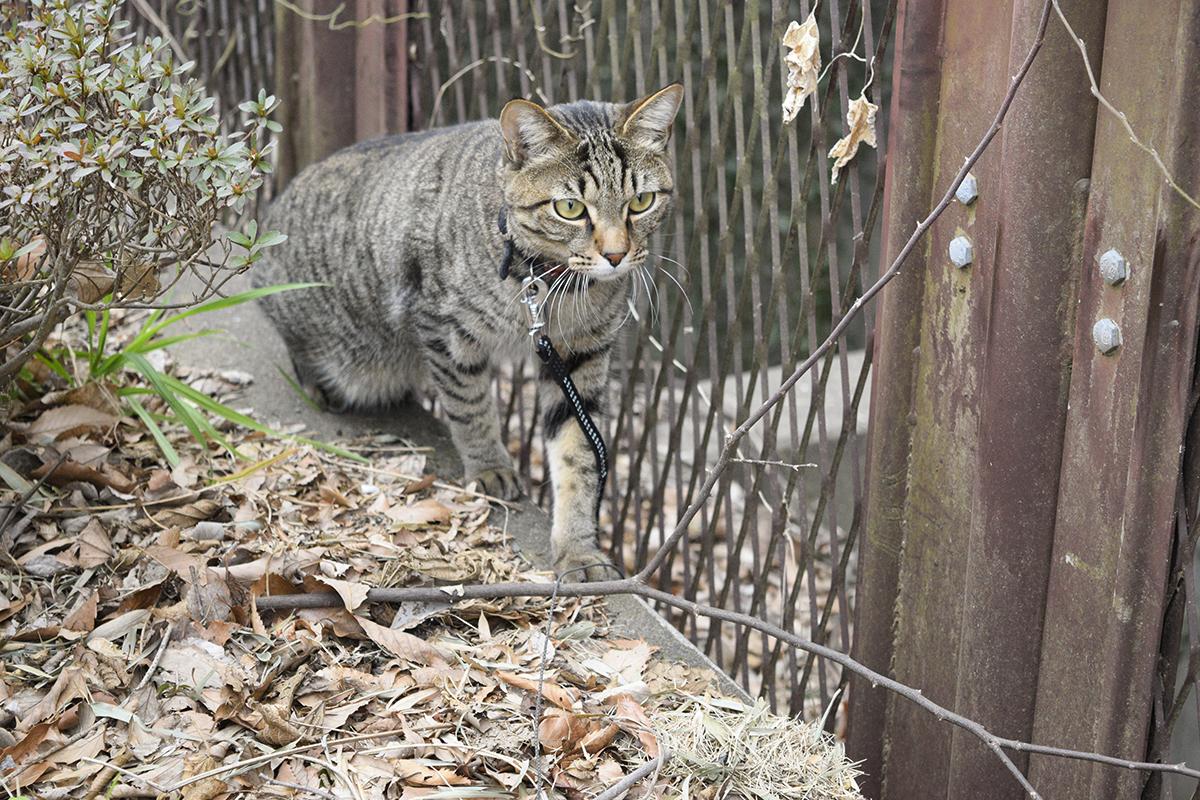 身を潜めてカラスに近づきキジトラ猫の虎ノ介